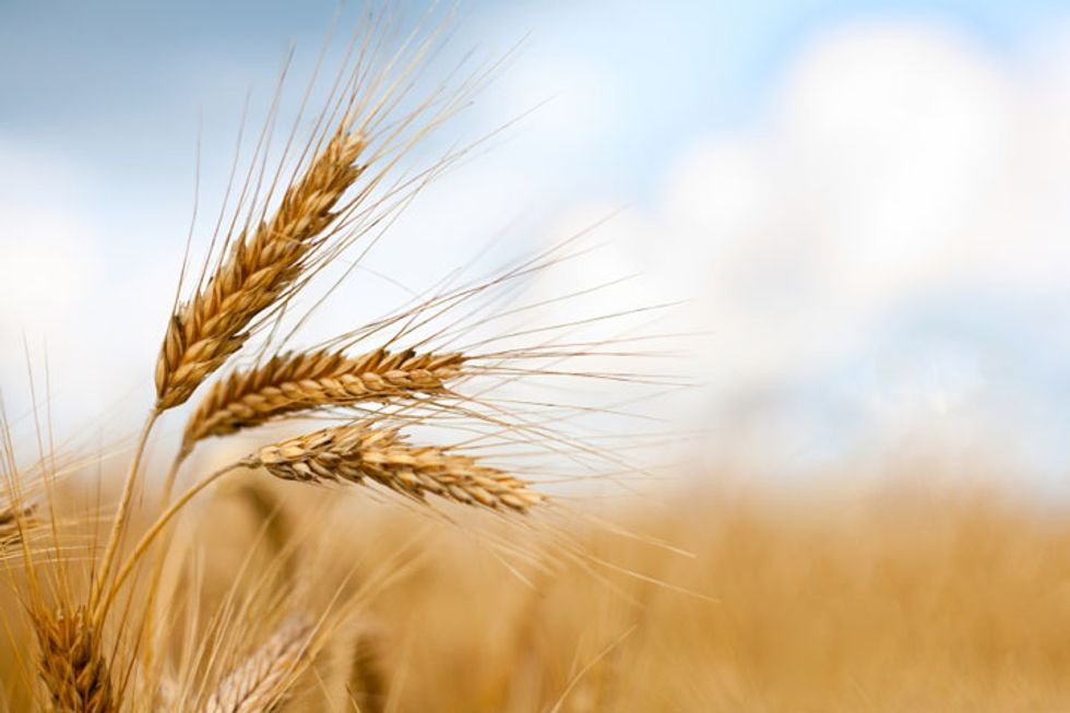 Modified Wheat: Dr. Davis Weighs In